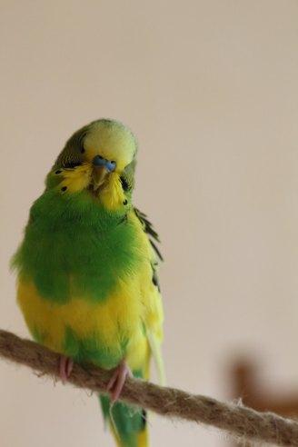 Wellensittich männlich Schecke grün gelb