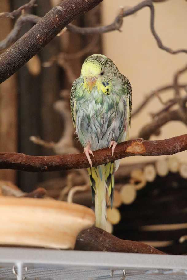 Wellensittich Milben Smeralda