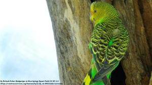 Wellensittich Australien Nominatform grün normal wild wikipedia