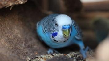 Wellensittich Männchen Hahn Nase Wachshaut blau