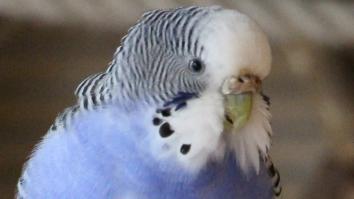 Wellensittich Weibchen Henne Nase Wachshaut braun