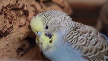 Wellensittich Weibchen Henne Nase Wachshaut hellblau