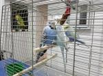 Wellensittiche männlich weiblich Berlin Abgabe Vermittlung Vogelpraxis
